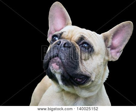 portrait of a dog muzzle breed french bulldog isolated on a black background