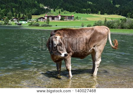 Cow at the lake in the Alps, Austria