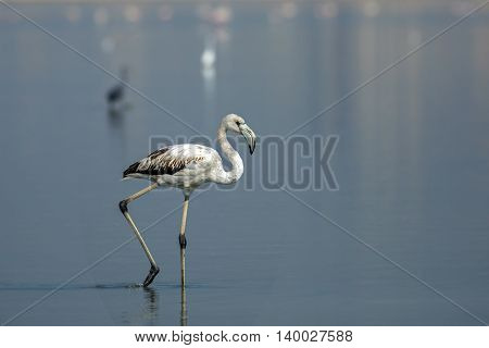 Greater Flamingo (Juvenile) or Phoenicopterus Roseus in Bahrain