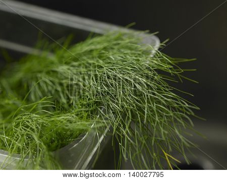 close up of the herb dill in the kitchen