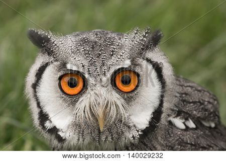 Portrait of a white faced scops owl