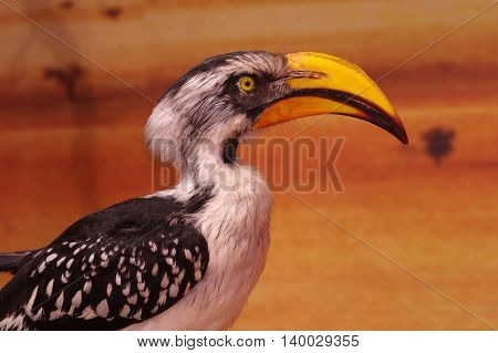 Yellow billed hornbill taxidermy birds animals objects.