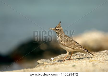 Crested Lark in a Beach in Bahrain