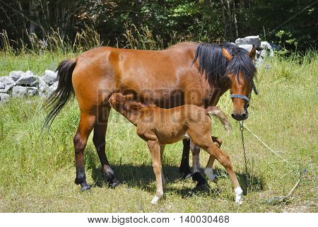 Brown horse with its eating foal in a meadow.