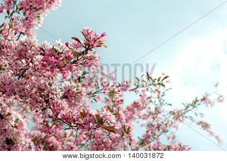 fruit tree blossoms magnificently pink and white flowers in the spring in the park / beautiful season is spring