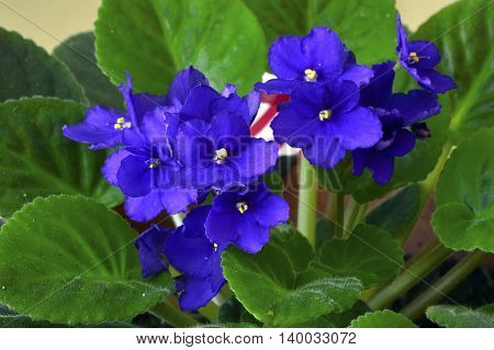 African Violet In A Pot
