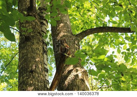 The squirrel mistress in the woods, sitting on a branch chewing on nuts