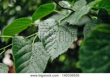 Beautiful Green Leaf Texture With Drops Of Water