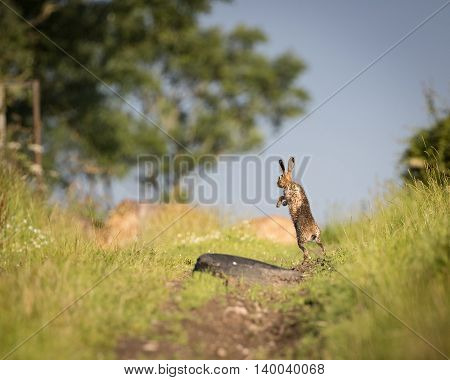 Brown Hare on path, in full leap, wet from bathing in puddle (Lepus europaeus)