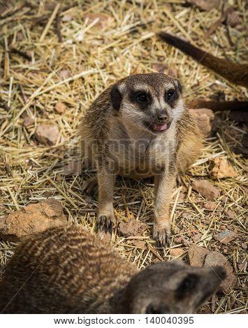 Portrait Of Little Meerkat Sitting On A Grass