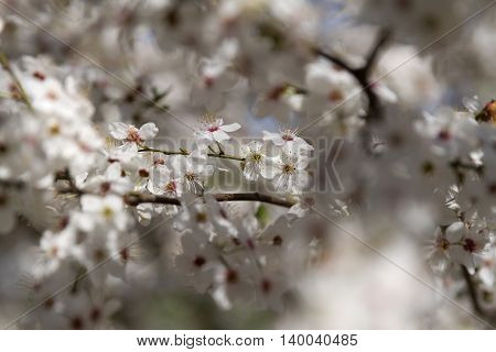 branch of cherry blossoms (shallow depth of field)