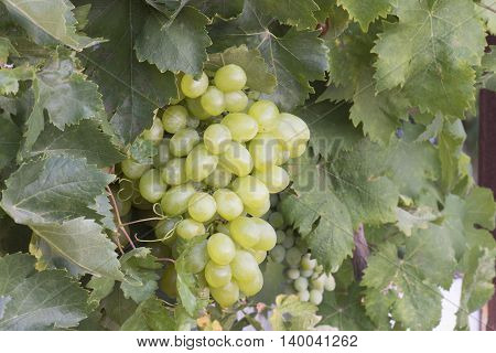 bunch of ripe grapes in the garden