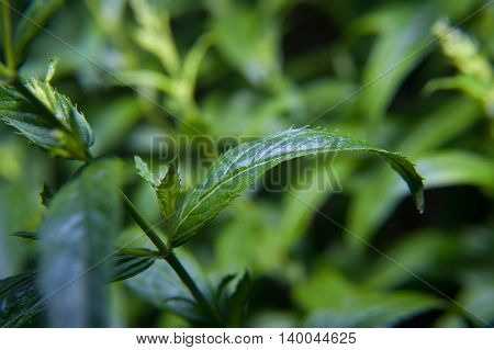 Micro close up photo of green pepper mint leaves on a bush background..