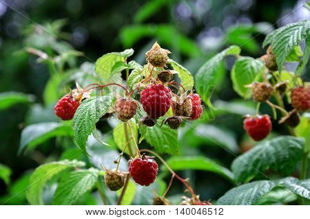 summer collect tasty harvest of sweet red raspberries in the garden