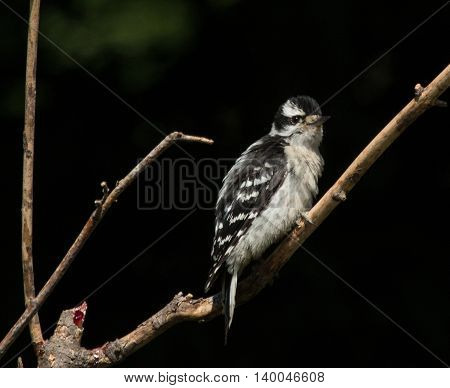 Juvenile Downy Woodpecker perched on a branch