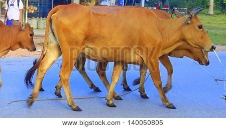 reddish brown Thai Brahman cows being led down the road by nose tether ropes, near Songkhla, Thailand