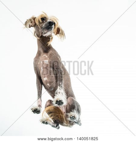 Studio portrait of a Chinese Crested dog. Animal isolated on a white background. Angle from the bottom of through clear glass.