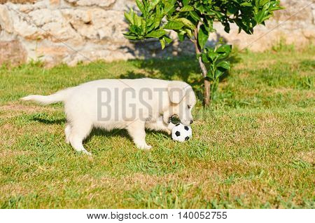 Small Golden Retriever Playing With A Ball