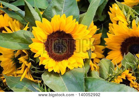 Sunflower, Sunflowers - Flower Macro