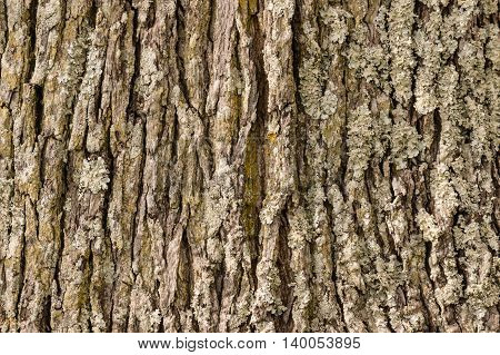 old tree trunk bark with lichen background