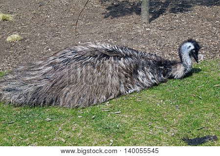 An Australian emu (Dromaius novaehollandiae) lies down on the ground.