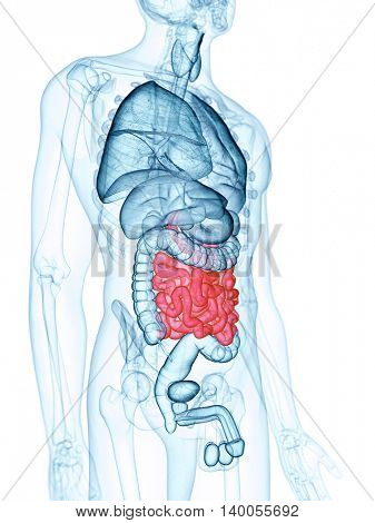 medically accurate illustration of the small intestine