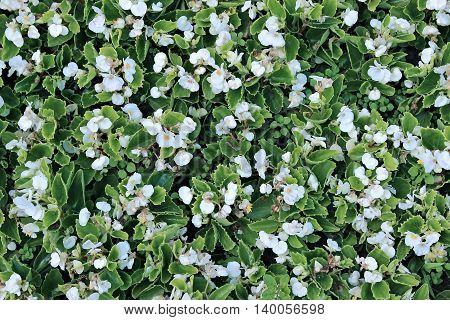 Background of white flowers tuberous begonias on the flowerbed in the garden