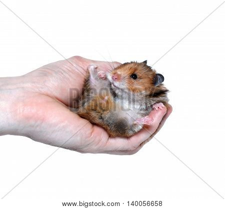 Brown Syrian hamster lying in hand isolated on white background