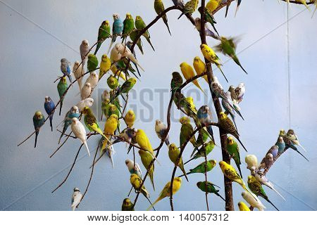 Colorful budgerigars (Melopsittacus undulatus), also called the common pet parakeet, shell parakeet and budgie, perch on branches.
