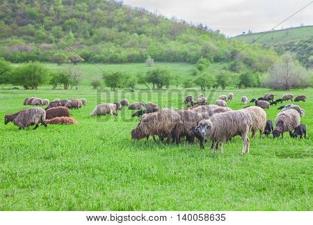 herd of ship grazing on the pasture