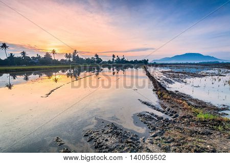 Reflection Sunrise in Paddy Field in Bukit Mertajam Penang, Malaysia
