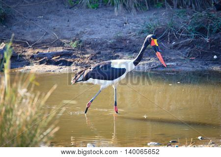 Saddle-billed stork hunting for a fish to eat