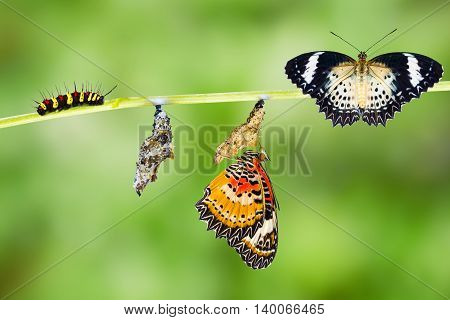 Leopard lacewing (Cethosia cyane euanthes) butterfly caterpillar pupa and emerging