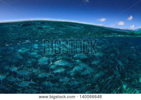 Ocean surface and sky with school trevally (jack) fish