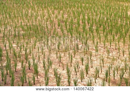 young rice planted on dry soil in paddy field drought in Thailand.