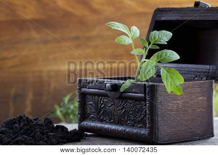 the sprout of tomato in a wooden chest