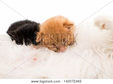 Small kittens and mother-cat. Isolated on white background