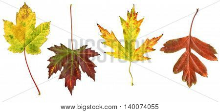 Collection of autumn leaves isolated on white