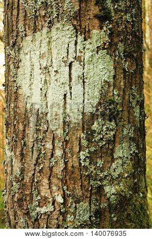 a picture of an exterior Pacific Northwest forest Vine maple tree with lichens