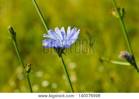 Blue chicory flowers grows on the meadow