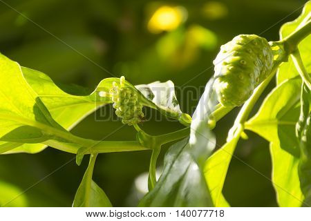 Noni fruit on tree in morning view.Fruit for health and herb.1