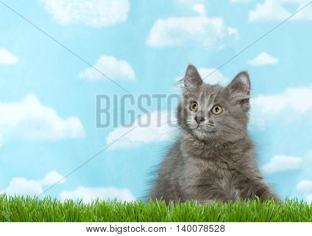 Fluffy gray kitten crouched in tall grass looking to viewers left blue sky background with clouds. Copy Space.
