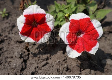 'Dreams Red Picotee' Petunia red with bright white edges two flowers on a sunny day.