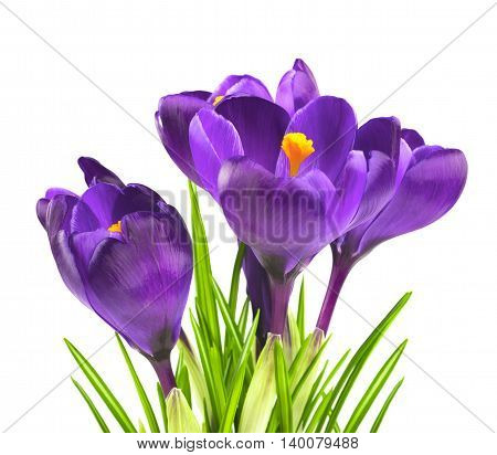 Crocus flower in the spring isolated on white (selective focus)
