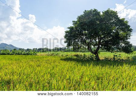 Paddy Rice field and tree