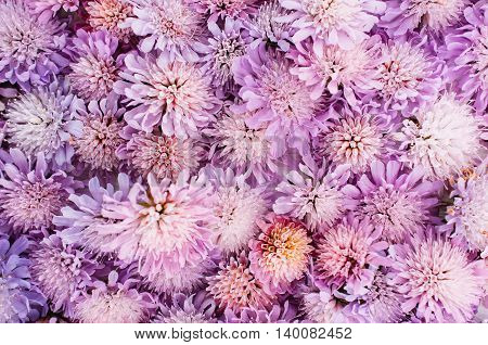 Purple aster variety background. A lot of blooming flowers backdrop, spring blossom
