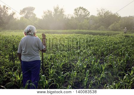 Grandma in vegetable garden. Mature woman standing in young corn on summer evening. Landscape with haze at sunset