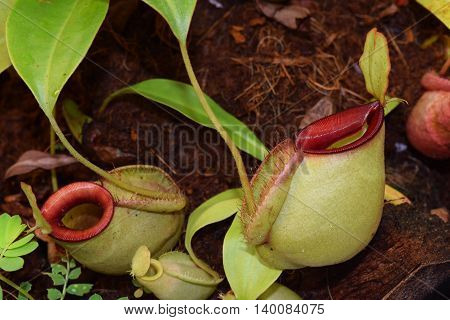 Beautiful pitcher carnivorous plant pot Nepenthes in Vietnam with exotic pitcher