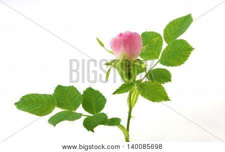 Rosa canina - wild rose bud on white background.
