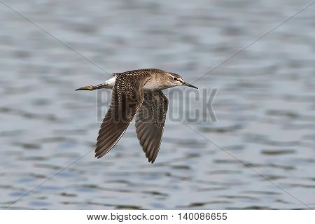 Wood sandpiper (Tringa glareola) in flight with water in the background